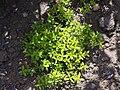 Thymus x citriodorus Macierzanka cytrynowa 2015 01.jpg