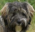 Tibetan terrier head.jpg