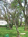 Tibouchina pulchra - Jardim Botânico de São Paulo - IMG 0324.jpg