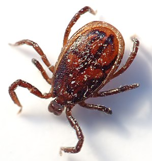 Acari - Male tick (size: 2 mm)