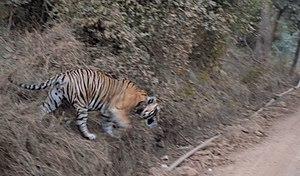 Sariska Tiger Reserve - Tiger in the Sariska Tiger Reserve