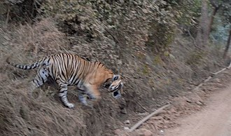 Sariska Tiger Reserve - Tiger in the Sariska Tiger Reserve