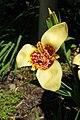 Tigridia pavonia, Conservatoire botanique national de Brest 07.jpg