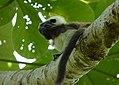 Tití (Saguinus oedipus) - Flickr - Alejandro Bayer (1).jpg