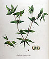 Tithymalus lathyris — Flora Batava — Volume v11.jpg