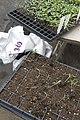 Tomato seedlings (464347374).jpg