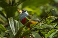 Toucan Barbet - Colombia S4E3166 (16222420059).jpg