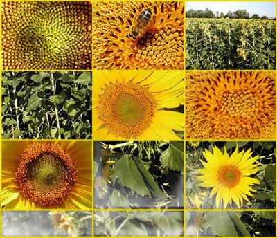 Plante utile wikip dia - Griller des graines de tournesol ...