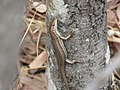 Trachylepis damarana.jpg