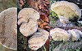 Trametes hirsuta (Hairy Bracket, D= Striegelige Tramete, F= Tramète hirsute, NL= Ruig elfenbankje) white spores and causes white rot, the hanging ones compared to the normal cap or shell shaped bottomside of a precedin - panoramio.jpg