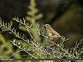 Tree Pipit (Anthus trivialis) (23097992485).jpg