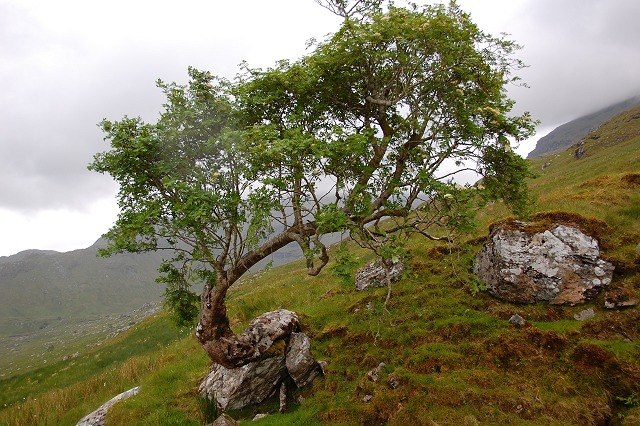 Tree growing out of rock in Coire Earb - geograph.org.uk - 853941