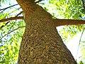 Tree trunk (5059232365).jpg