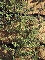 Tribulus terrestris 20080827.jpg