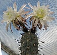 Trichocereus tacaquirensis 01.jpg