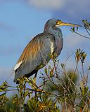 Tricolored Heron at Lake Woodruff - Flickr - Andrea Westmoreland (1).jpg