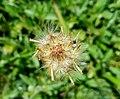 Tridax procumbens, Seeds 03.jpg