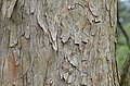 Trident Maple Acer buegerianum Bark Horizontal.JPG