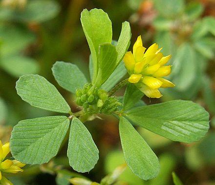Trifolium repens classification essay