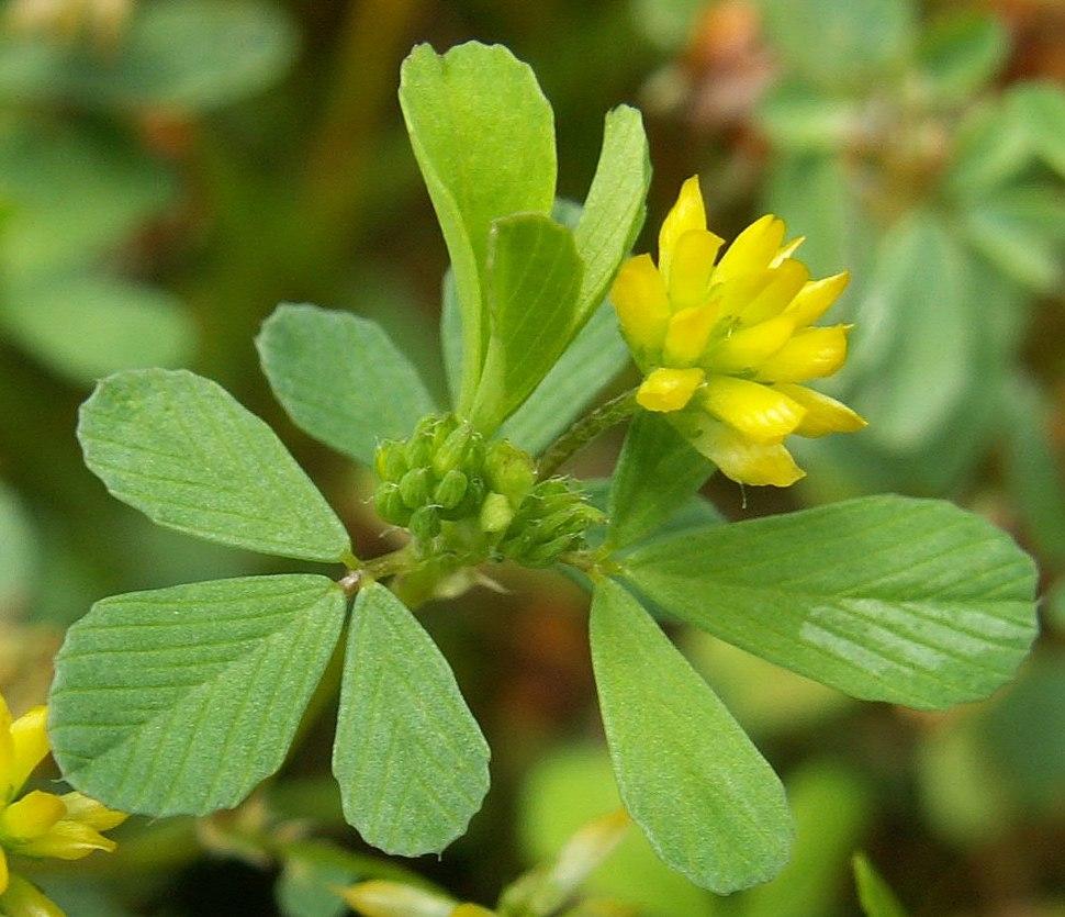 Trifolium dubium kz1