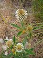 Trifolium montanum Valais.JPG