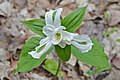 Trillium grandiflorum at the North Walker Woods1.jpg