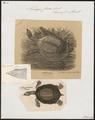 Trionyx ferox - 1700-1880 - Print - Iconographia Zoologica - Special Collections University of Amsterdam - UBA01 IZ11600183.tif