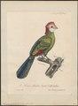 Turacus erythrolophus - 1825-1834 - Print - Iconographia Zoologica - Special Collections University of Amsterdam - UBA01 IZ19300043.tif