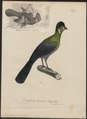 Turacus leucotis - 1835 - Print - Iconographia Zoologica - Special Collections University of Amsterdam - UBA01 IZ19300047.tif