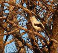 Turdoides bicolor, Steenbokpan, b.jpg