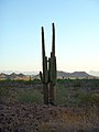 Twin saguaro cacti, AZ National Wildlife Refuge Complex (6449997187).jpg
