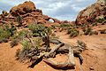 Twisted Tree at Arches N. P.jpg