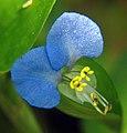 Two-blue-petals bgiu.jpg