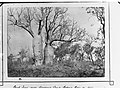Two Baobab Treet near Gregory's Camp, Victoria River 1856- Northern Territory (photo 1891)(GN02673A).jpg