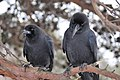 Two Large-billed Crows Japan 2018-01-28.jpg