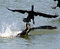 Two and a half Phalacrocorax auritus and one fish.jpg