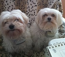 Gifts for Maltese Dog Lovers