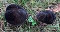 Tylopilus alboater (Schwein.) Murrill 650769.jpg