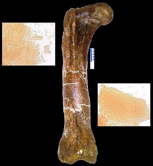 Tyrannosaurus peptides