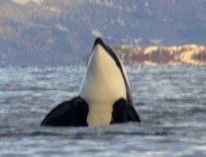 Kosatky často zvedají své tělo nad vodu. Toto chování nazýváme pozorovací skoky. Vědci debatují nad jeho účelem.