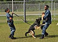 US Navy 120131-N-UE250-026 A Sailor commands police dog, Mickey, to attack.jpg