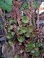 Umbilicus rupestris Plants SierraMadrona.jpg