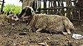 Une brebis Gravide (enceinte) au repos.jpg