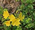Unidentified Oenothera flowers buds.jpg