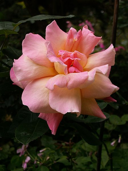 File:Unknown big pink flower.jpg