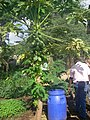 Urine fed papaya plants (3940243659).jpg