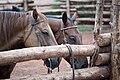 Utah - North America - Equus - Equidae (4893410674).jpg