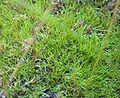 Utricularia blanchetti 1.jpg