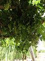 Uvas blancas en la Patagonia 03.JPG