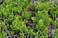Vaccinium myrtillus (8336998257).jpg